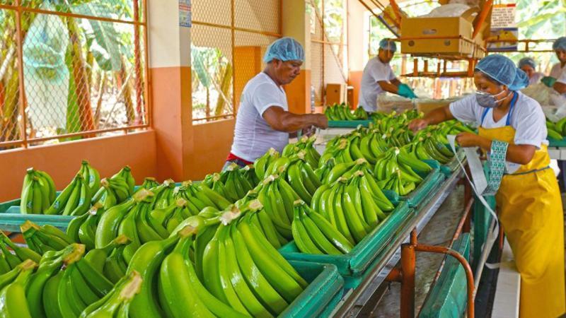 Exportaciones de banano orgánico superan los US$ 117 millones hasta septiembre de este año