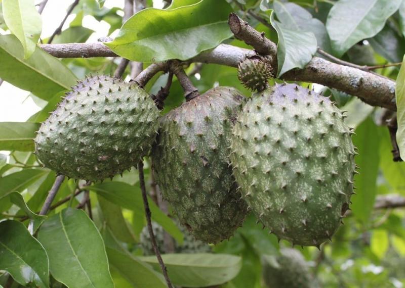 Exportaciones de chirimoyas y guanábanas llegan a valores de casi US$ 156 mil