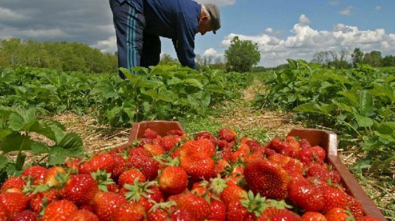 Exportaciones de fresas de Perú caerían 21.7% este año