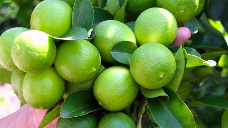 Exportaciones de limón Tahití alcanzaron valores de US$ 4.4 millones