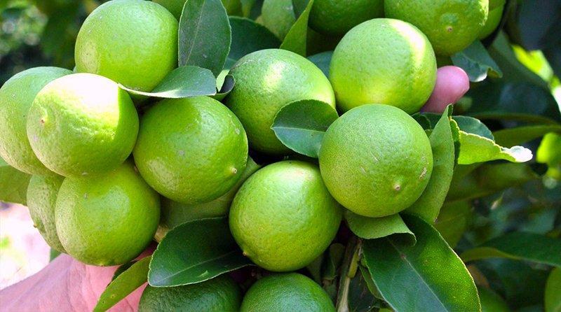 Exportaciones de limón Tahití sumaron US$ 2 millones en el primer bimestre de 2020