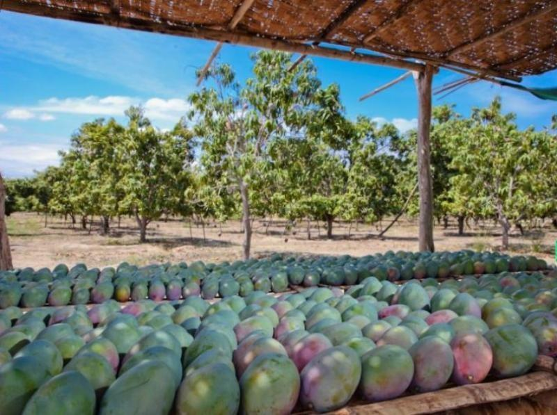 Exportaciones de mango fresco de Perú alcanzarían las 217 mil toneladas esta campaña