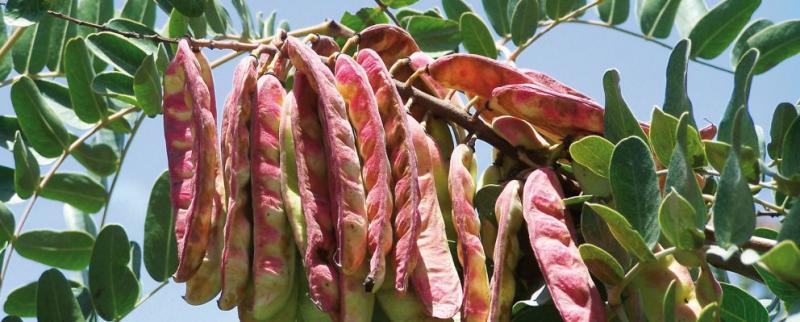 Exportaciones de tara caen en valor 13% en 2019
