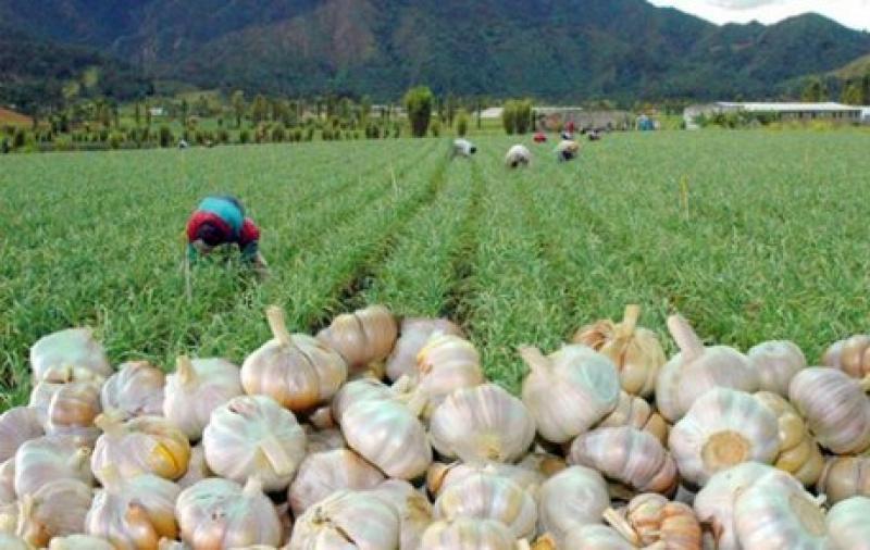 Exportaciones peruanas de ajos crecieron 46% en 2020