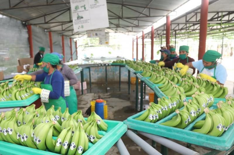 Exportaciones peruanas de banano caen en volumen y valor un 60.8% durante enero-julio del presente año