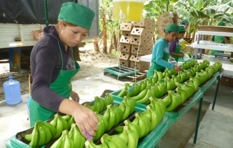 Exportaciones peruanas de banano orgánico crecerían en valor 5% este año