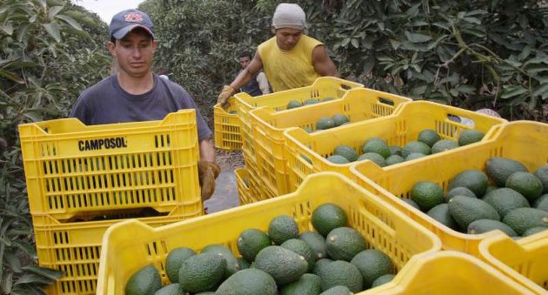 Exportaciones peruanas de palta crecieron 18% en volumen, pero cayeron 4% en valor