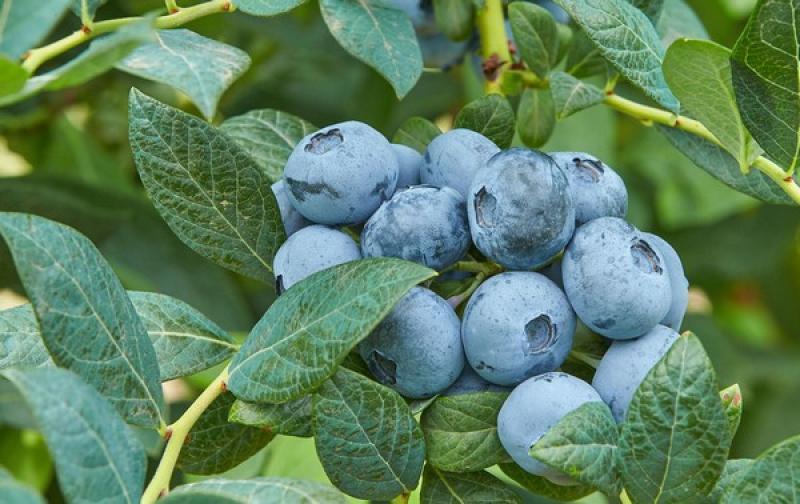 Fall Creek presenta cinco nuevas variedades de arándanos