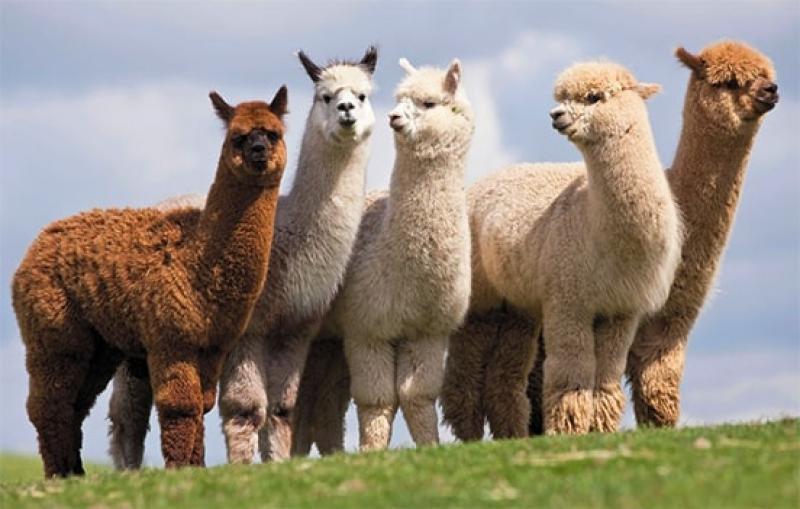Fijan las cuotas de exportación de alpacas y llamas correspondientes al año 2019