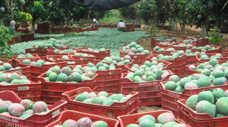 Financiarán proyectos productivos de exportación de mangos en Casma