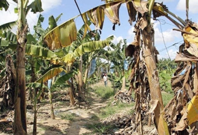 Hasta el momento no se ha identificado otros campos afectados por marchitez causada por Fusarium Raza 4 Tropical