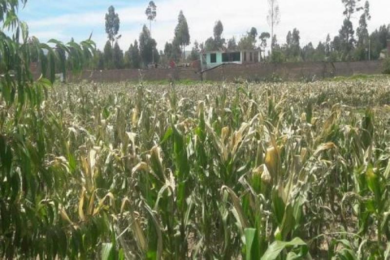 Heladas dañan más de 40 mil hectáreas de cultivos en sierra de Junín