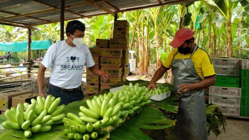 Huánuco: productores de baby banano mejoran rentabilidad y venden el 100% de su producción