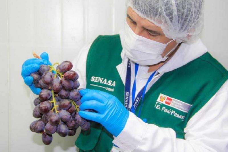 Ica certificó 182.561 toneladas de uva de mesa para exportación en la campaña 2018/2019