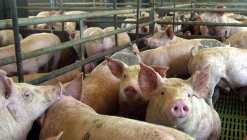 """""""Industria porcícola peruana no tiene nada que envidiarle a los principales países productores y exportadores de carne de cerdo del mundo"""""""