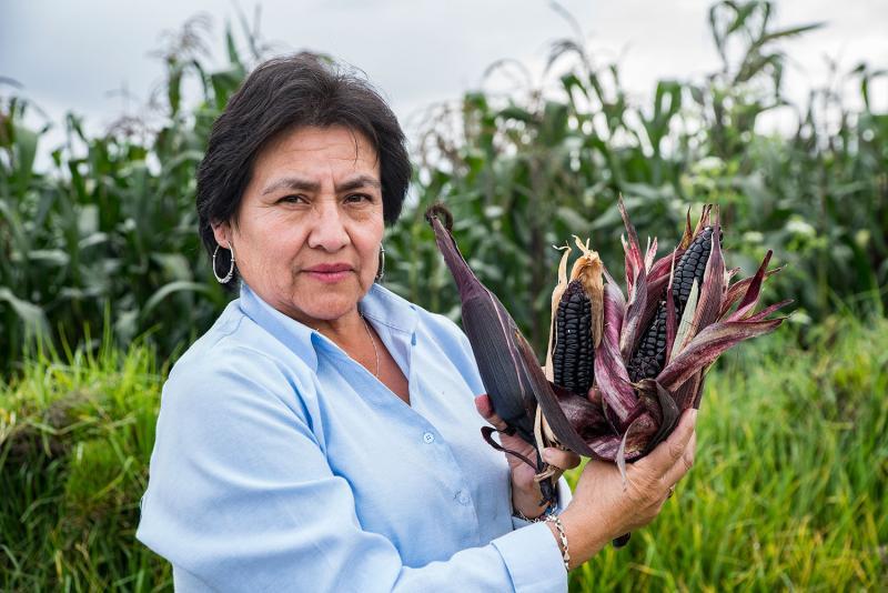 INIA identifica variedad de maíz morado con alto potencial de rendimiento y mayor contenido de antocianina
