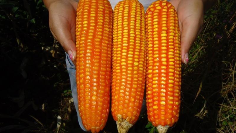 INIA inicia investigación de tolerancia al estrés hídrico del maíz amarillo duro