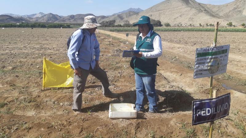 Inician Campaña de Exportación de espárragos en Áncash