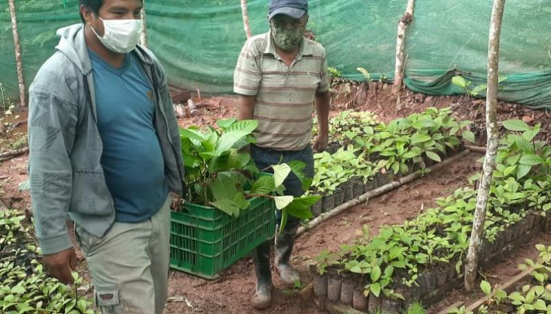 Inician repoblamiento de árbol de la quina en Pichanaqui