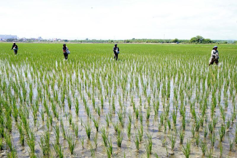 Inversión en cultivo de arroz en Perú alcanza los S/ 3.600 millones en la presente campaña