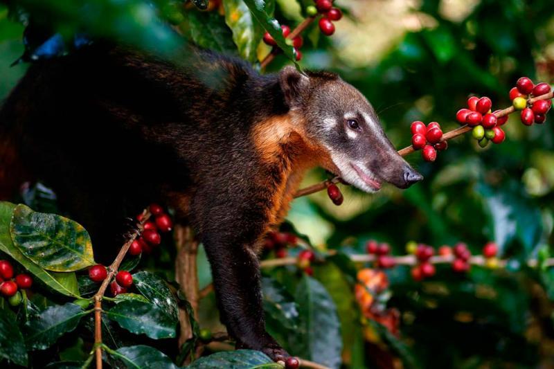 Investigadores peruanos desarrollan café de alta calidad utilizando microorganismos aislados a partir de heces de coatí