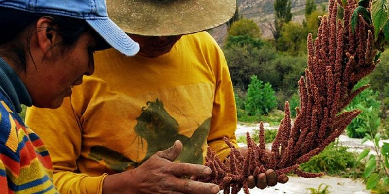 La Liberad: provincia de Sánchez Carrión exportará 100 toneladas de quinua orgánica