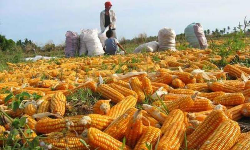 La Libertad: aprueban campaña complementaria de hasta 2.500 hectáreas en valle Jequetepeque