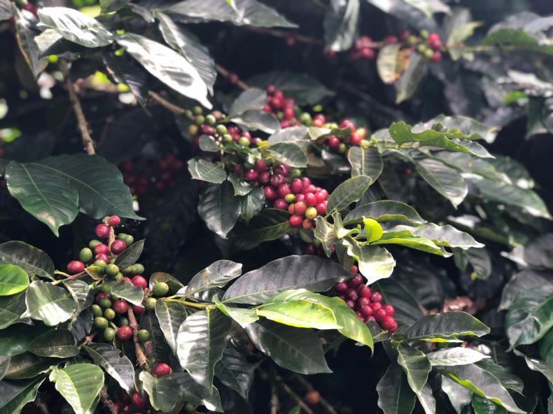 La producción del café aún puede ser rentable