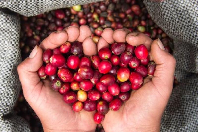 Lambayeque aspira a convertirse en una zona ideal para los cafés especiales