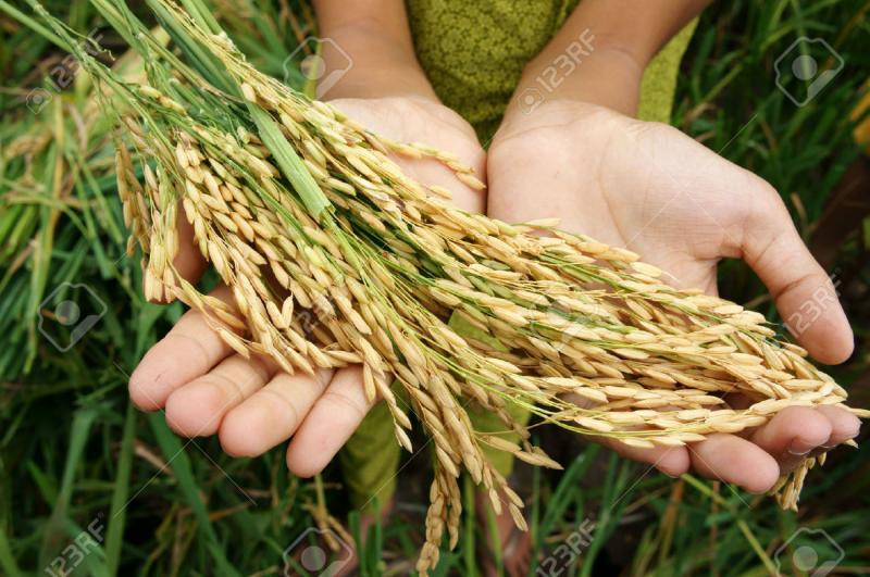 Los patógenos de plantas amenazan la seguridad alimentaria