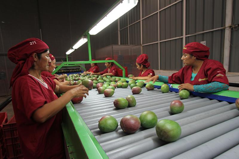 Mango de Áncash mantendrá exportaciones a Europa