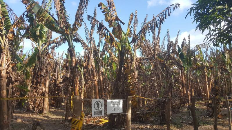 Marchitez causada por Fusarium raza 4 tropical es considerada entre las 10 enfermedades más importantes en la historia de la agricultura