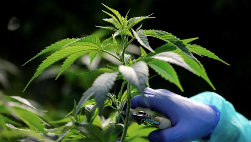 Mercado latinoamericano del cannabis tiene un valor de US$ 9.8 mil millones