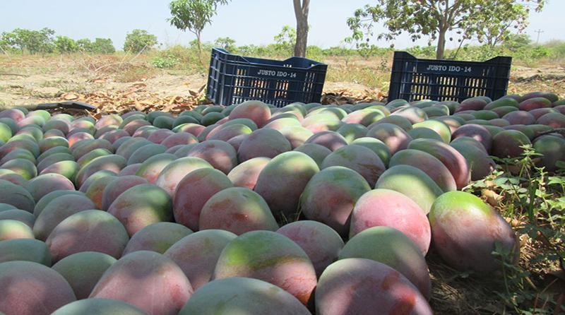 Merma significativa de la producción de mango en Casma
