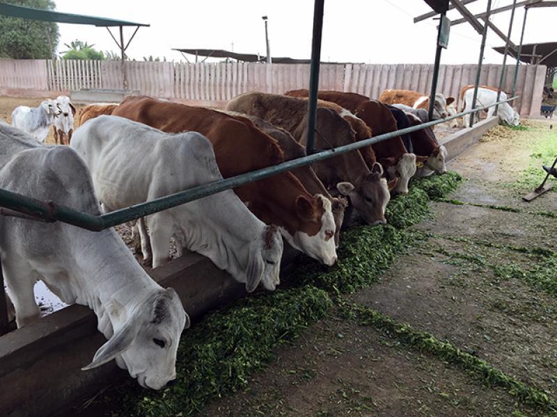 Minagri desarrolla sistema que monitorea en tiempo real producción lechera