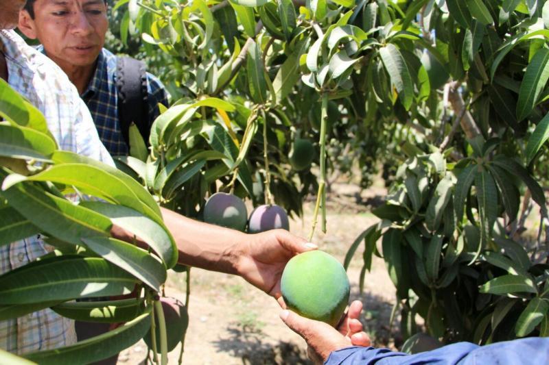 Minagri fortalece capacidades de productores de mango para impulsar exportación de la fruta