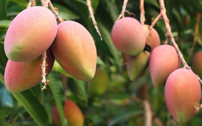 Pequeños productores de Áncash proyectan exportar 30 mil toneladas de mango en campaña 2021