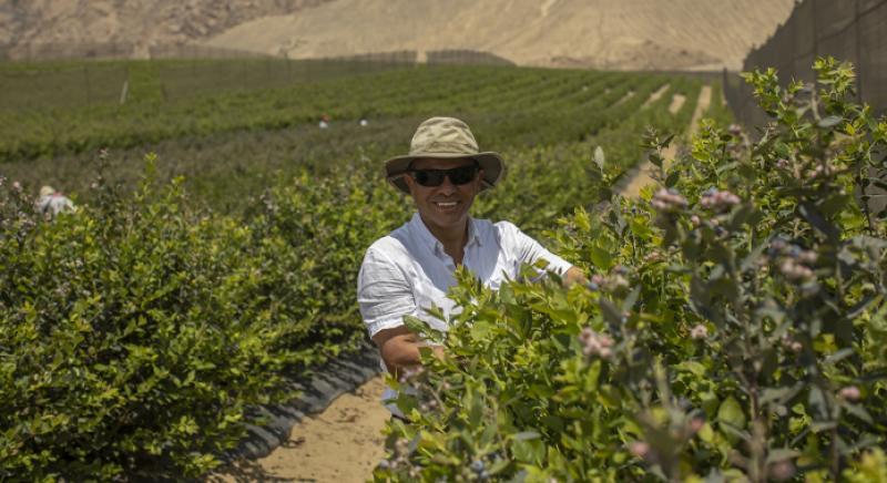 Perú contará con 20 mil hectáreas de arándanos dentro de 3 años