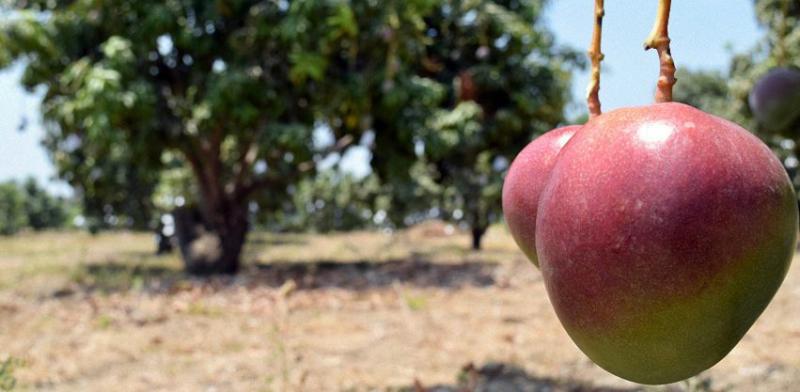 Perú contó con 16.761 hectáreas certificadas de mango para exportación el año pasado