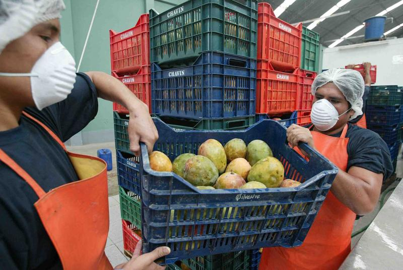 Perú exportó mangos por más de US$ 134 millones durante el primer semestre del año
