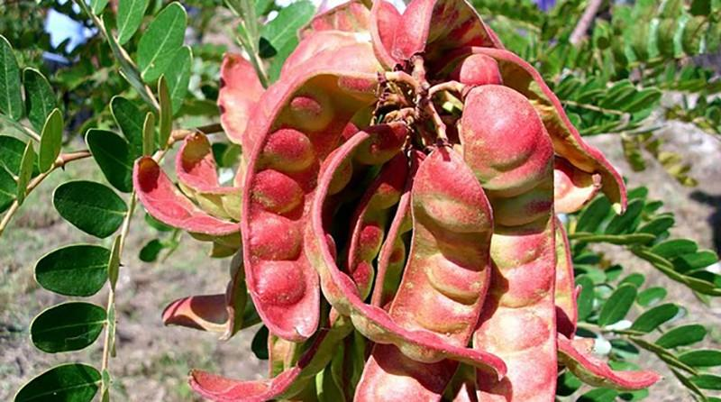 Perú produce más del 90% de la tara a nivel mundial