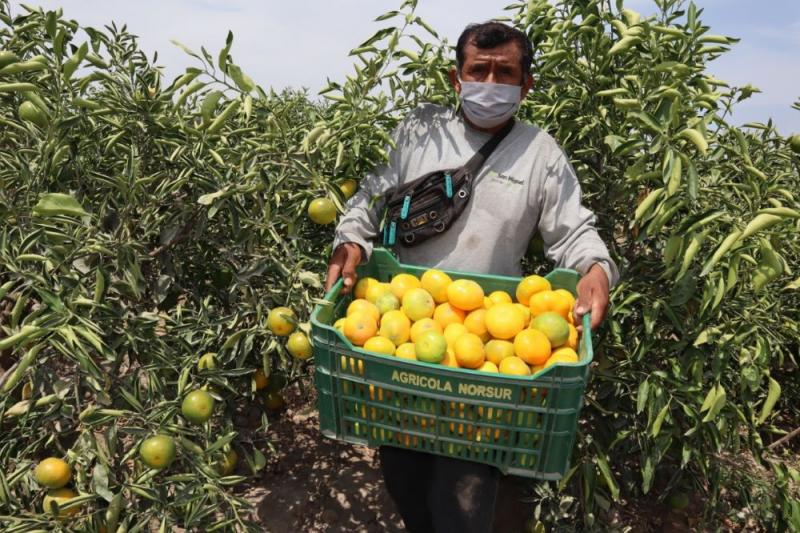 Perú proyecta exportar 300 mil toneladas de cítricos en la campaña de este año