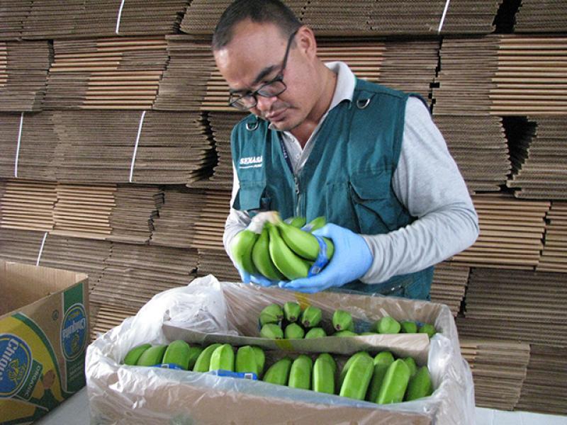Perú refuerza control para evitar ingreso de Fusarium raza 4 letal para cultivos de banano