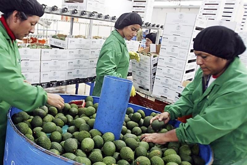 Perú se convertiría en el segundo exportador mundial de palta este año