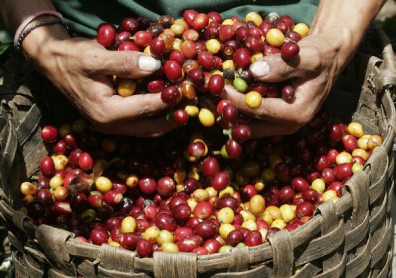 PERÚ SUPERARÁ LOS 6,2 MILLONES DE QUINTALES DE CAFÉ EN 2011
