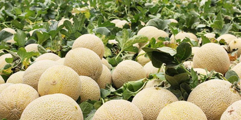 Perú tiene oportunidad para exportar melones de alta calidad a Europa