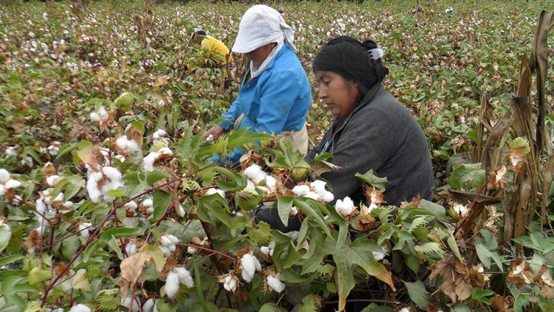 Piura: Costach exporta 21 toneladas de algodón pima a Tailandia