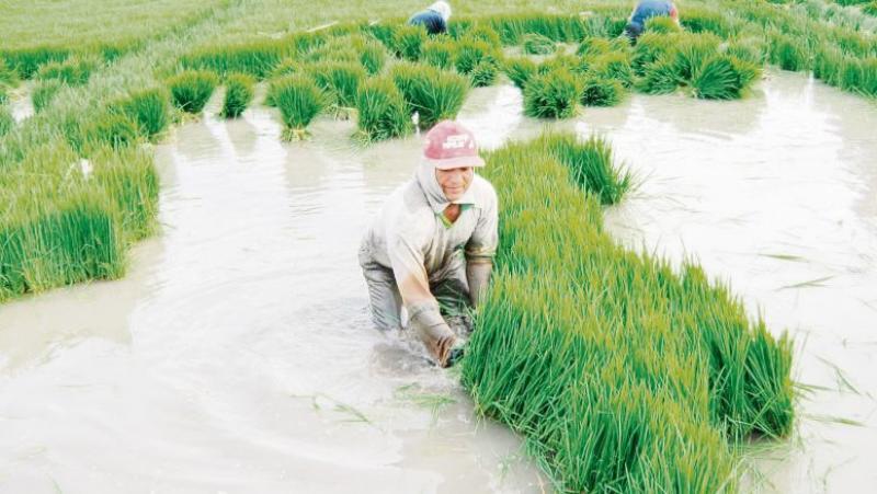 Piura debe dejar de sembrar 14 mil hectáreas de arroz para evitar la sobreproducción