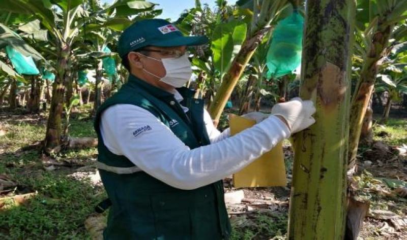 Piura: detectan la presencia de Foc R4T en 72.5 hectáreas de bananos en Sullana