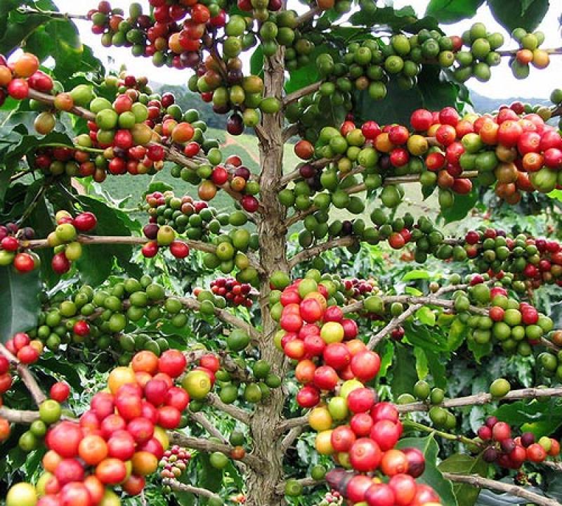 PRECIO DEL CAFÉ se SITUARíA ENTRE US$ 3,5 Y US$ 4 POR kilo